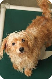 Chihuahua/Maltese Mix Dog for adoption in Philadelphia, Pennsylvania - Diamond