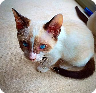 Snowshoe Kitten for adoption in Knoxville, Tennessee - Alice