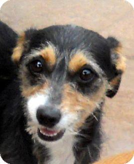 Dachshund/Norwich Terrier Mix Dog for adoption in Oakley, California - Sadie