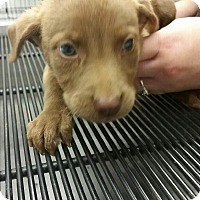 Adopt A Pet :: Rosita (Walking Dead pup) - Cumming, GA