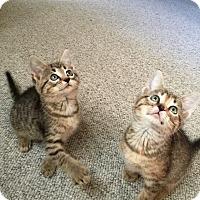 Adopt A Pet :: Charlee tabico ringleader - McDonough, GA