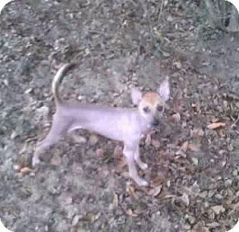 Xoloitzcuintle/Mexican Hairless Dog for adoption in Leesburg, Florida - Atari ADOPTED