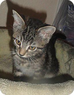 Domestic Shorthair Kitten for adoption in San Diego, California - Nala