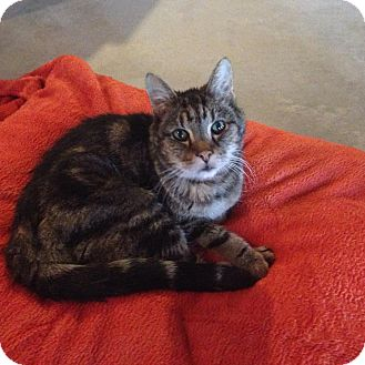 Domestic Shorthair Cat for adoption in Rochester, New York - Tigger