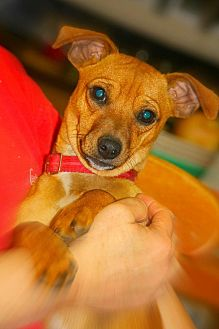 Chihuahua/Dachshund Mix Dog for adoption in Crosbyton, Texas - Pee Wee