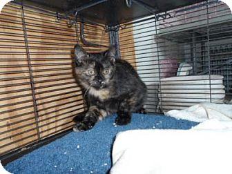 Domestic Shorthair Kitten for adoption in Breinigsville, Pennsylvania - Libby