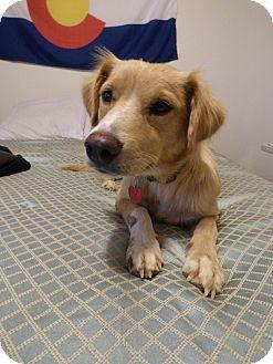 Golden Retriever/Labrador Retriever Mix Dog for adoption in Denver, Colorado - Elsa