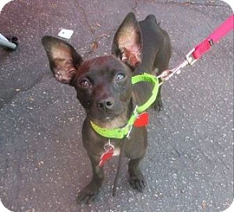 Chihuahua Mix Puppy for adoption in Los Angeles, California - INKY