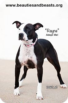 Pit Bull Terrier Mix Dog for adoption in Wichita, Kansas - Rayne