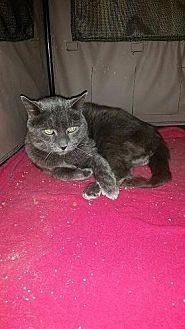 Domestic Shorthair Cat for adoption in Westbury, New York - Ash