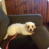 Adopt A Pet :: Victoria - ROME, NY