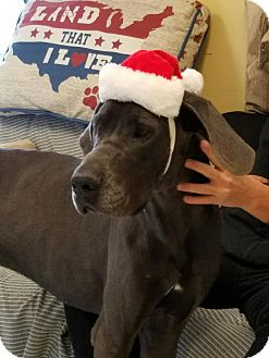 Great Dane Dog for adoption in Savannah, Tennessee - Moose