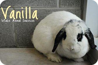 Lop, Holland Mix for adoption in Hamilton, Ontario - Vanilla
