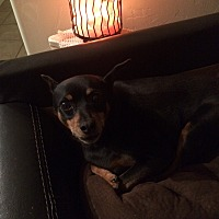 Miniature Pinscher Dog for adoption in Oro Valley, Arizona - Ozzy