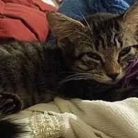 Adopt A Pet :: BellaLynn - Tampa, FL
