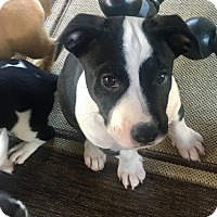 Adopt A Pet :: Bigs - Newport Beach, CA
