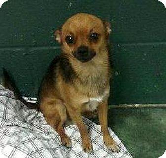 Chihuahua Mix Dog for adoption in Holliston, Massachusetts - Jersey