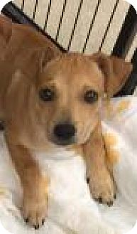 Chihuahua/Dachshund Mix Puppy for adoption in Columbus, Georgia - Aalee 4961
