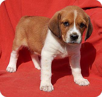 Golden Retriever/Beagle Mix Puppy for adoption in Williamsport, Maryland - Adara (4 lb) Video