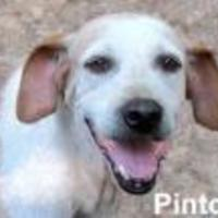 Hound (Unknown Type) Mix Dog for adoption in Tahlequah, Oklahoma - Pinto Bean