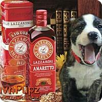 Adopt A Pet :: Amaretto - Wyoming, MI