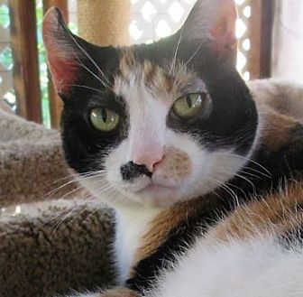 American Curl Cat for adoption in Gilbert, Arizona - Curly-Q