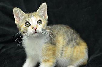 Domestic Shorthair Kitten for adoption in Atlanta, Georgia - Pinterest 171106