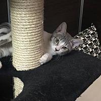 Adopt A Pet :: Cara Mia - Chandler, AZ