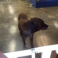 Adopt A Pet :: Molly # 1181X - Nixa, MO
