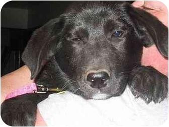 Labrador Retriever Mix Puppy for adoption in Evergreen, Colorado - Cessna