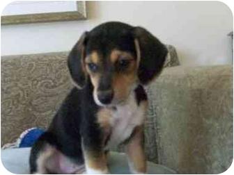 Sheltie, Shetland Sheepdog/Beagle Mix Puppy for adoption in Plainfield, Illinois - Chantal,  Cosette