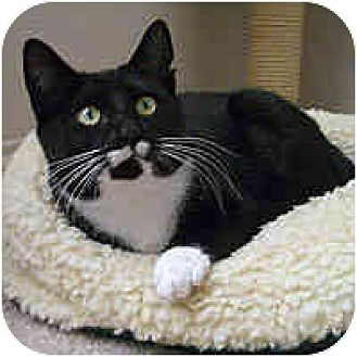 Domestic Shorthair Cat for adoption in Round Rock, Texas - Bitsy