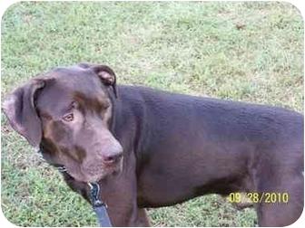 Labrador Retriever/Boxer Mix Dog for adoption in York, South Carolina - Tyler