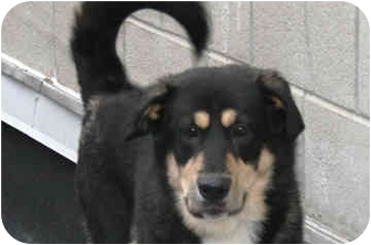 German Shepherd Dog Mix Puppy for adoption in New York, New York - Russo