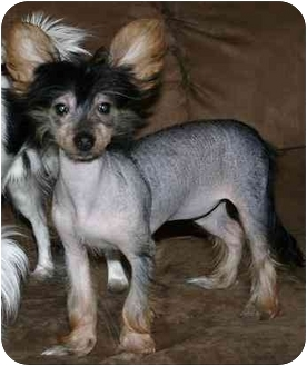 Chinese Crested/Yorkie, Yorkshire Terrier Mix Puppy for adoption in House Springs, Missouri - Naomi