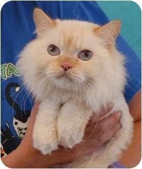 Persian Cat for adoption in Las Vegas, Nevada - Payton