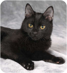 Domestic Shorthair Kitten for adoption in Chicago, Illinois - Digby