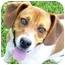 Photo 1 - Beagle Mix Dog for adoption in Metamora, Indiana - Remington -Rover 1/22/12
