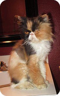 Persian Cat for adoption in Davis, California - Foxie Lady