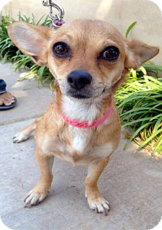 Chihuahua Mix Dog for adoption in Los Angeles, California - BUBBLE