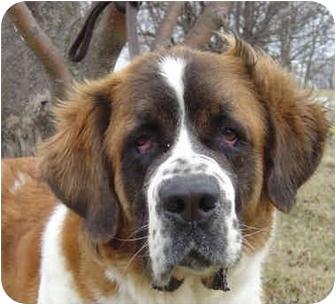 St. Bernard Dog for adoption in Overland Park, Kansas - Anna