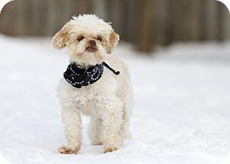 Shih Tzu Mix Dog for adoption in Ile-Perrot, Quebec - Lester