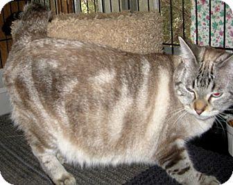 Bengal Cat for adoption in Dallas, Texas - Lacie