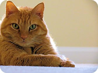 Domestic Shorthair Cat for adoption in Columbia, Maryland - COURTESY POST Deegan