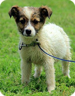 Australian Shepherd/Border Collie Mix Puppy for adoption in Allentown, Pennsylvania - Harper