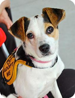 Terrier (Unknown Type, Small) Mix Dog for adoption in Baton Rouge, Louisiana - Annabelle