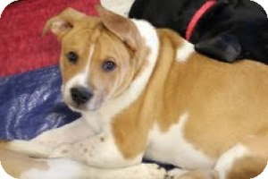 Australian Cattle Dog Mix Dog for adoption in justin, Texas - Sarge