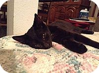 Domestic Shorthair Kitten for adoption in Tampa, Florida - Scout