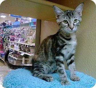 Domestic Shorthair Kitten for adoption in The Colony, Texas - Nutmeg