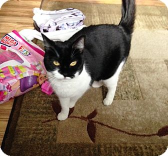 Domestic Shorthair Cat for adoption in Cleveland, Ohio - Midna